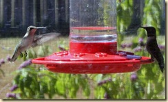hummingbirds-19sep2010
