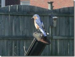 bluebird-24apr2011